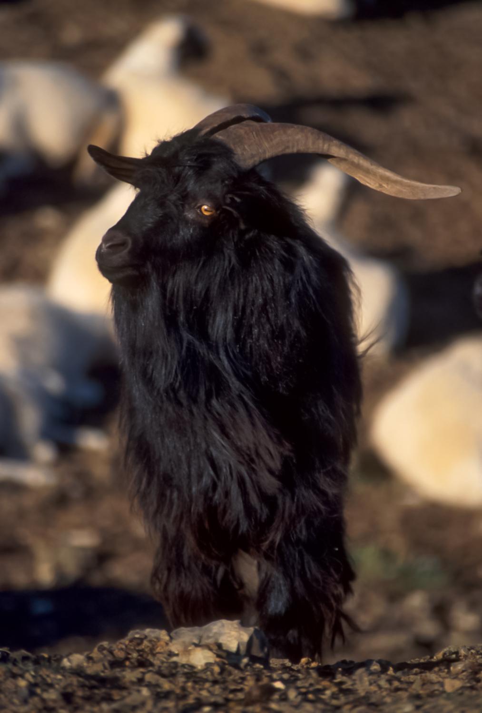 Cashmere goat Gobi desert, Mongolia
