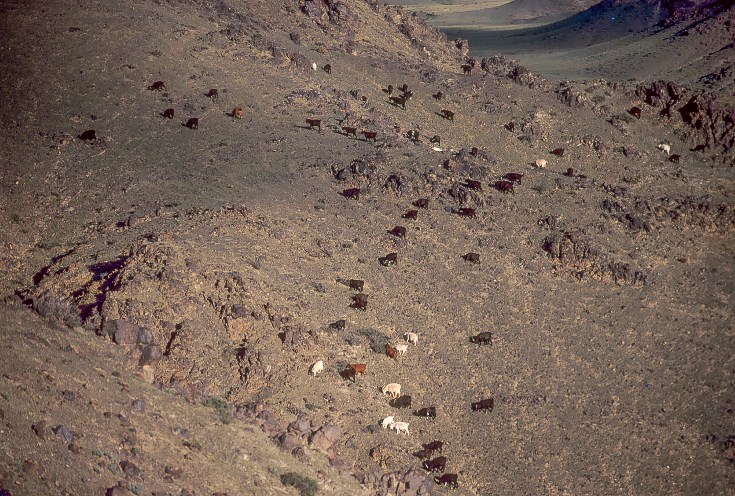 Cashmere goats in the Gobi Desert-Mongolia