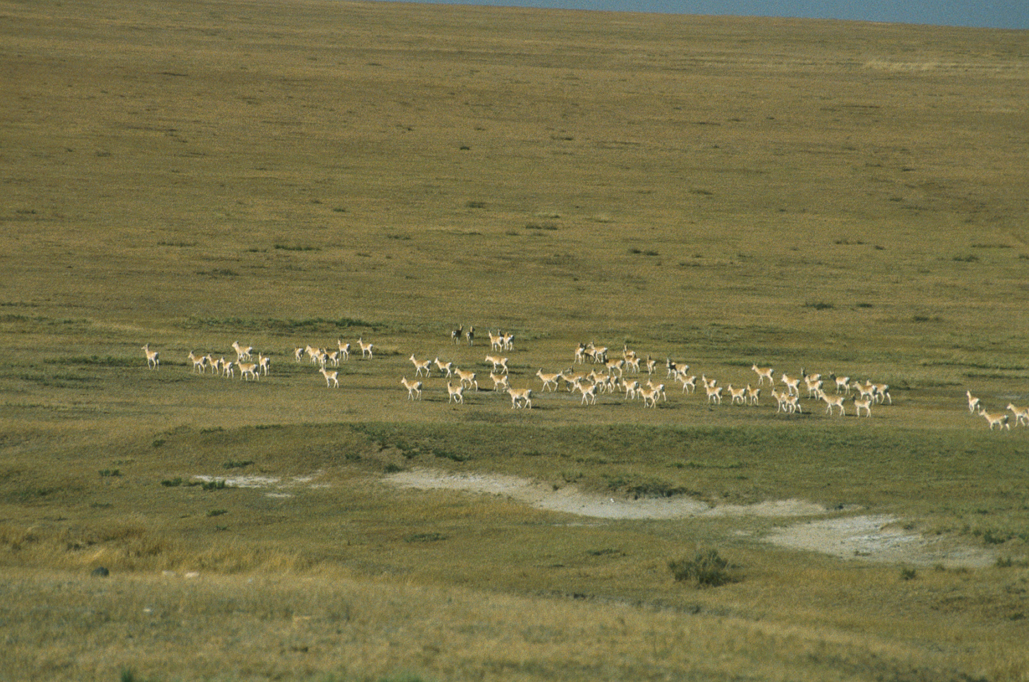 Mongolian gazelles in eastern steppes of Mongolia