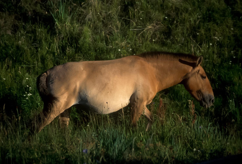 Pzrewalski horse, Huustain Nuuru, Mongolia