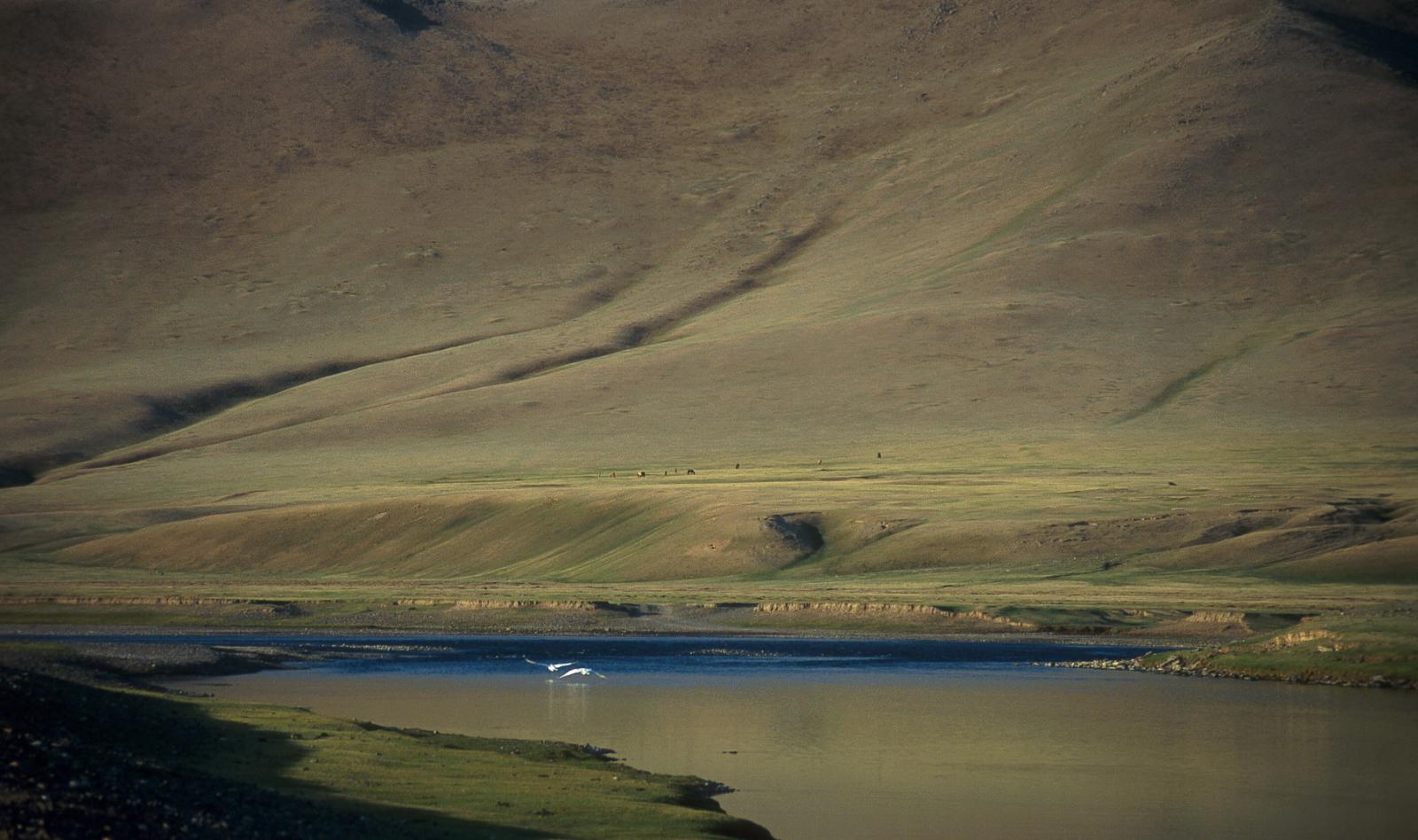 Swans over Orkhon River, Kharkhorin Mongolia